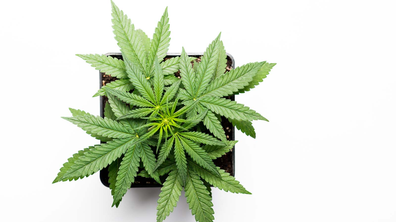 Cannabis Weed Conversion