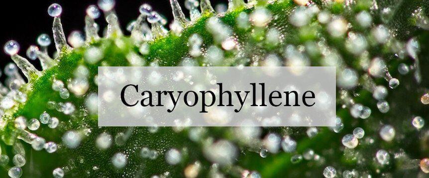 caryophyllene and cannabis strains
