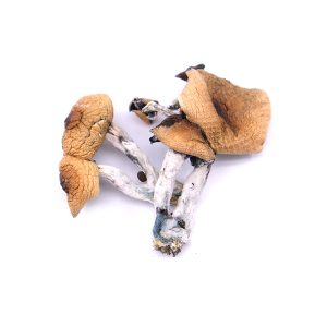 Buy Golden Teach Magic Mushrooms Online