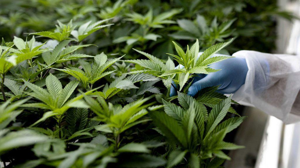 buy cannabis derived terpenes Canada