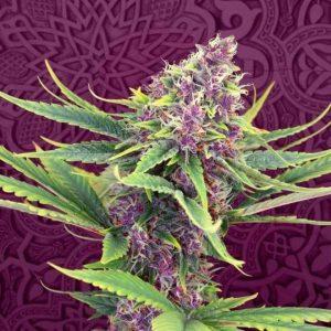best hybrid marijuana strains