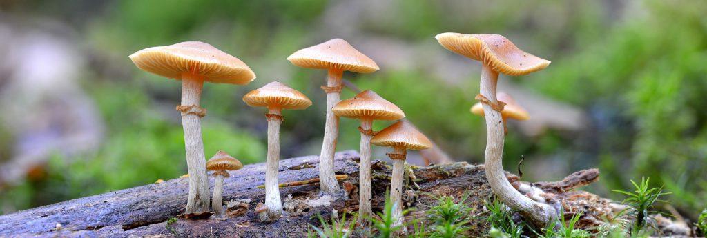 Magic Mushrooms Banner