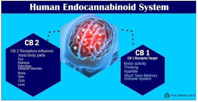 endocannainoid system